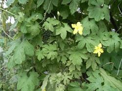 Goya_leaf